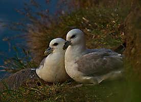 Couple de fulmars boréaux