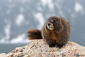 Marmotte - Rocky Mountains (USA)