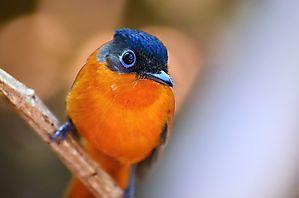 Tchitrec malgache - Madagascar
