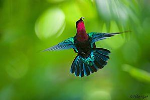 Colibri madère (Guadeloupe)