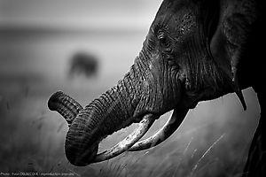 Eléphant d'Afrique - Loxodonta africana