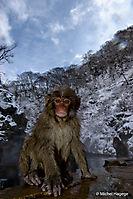 Macaque japonais - Macaca fuscata_16