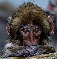Macaque japonais - Macaca fuscata_20