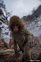 Macaque japonais - Macaca fuscata_3