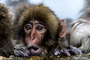 Macaque japonais - Macaca fuscata_4