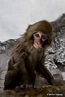 Macaque japonais - Macaca fuscata_5