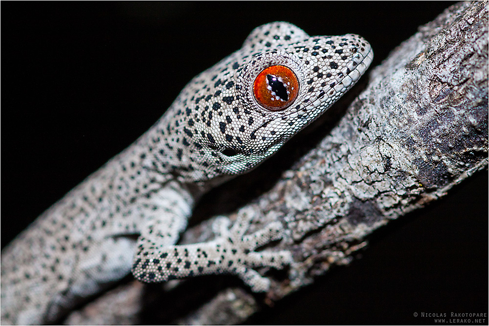 Golden-tailed Gecko